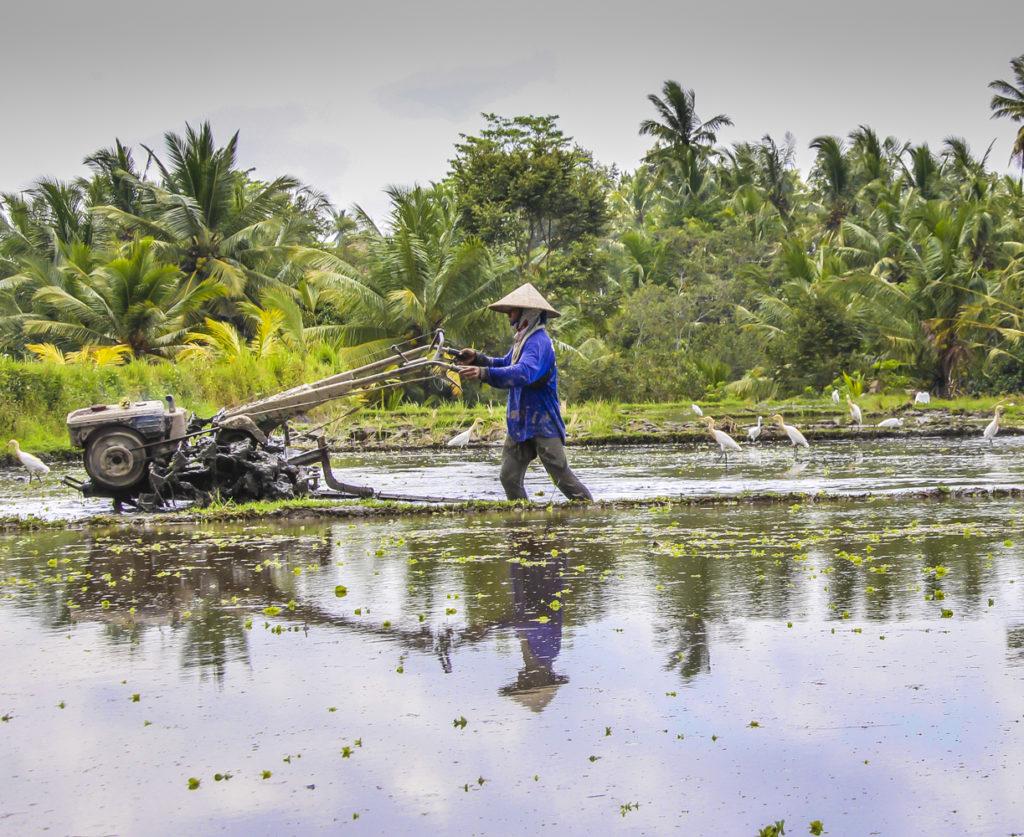 Plowing the rice fields in Bali